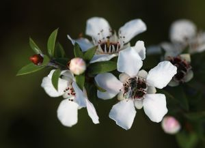 Manuka flowers and bee